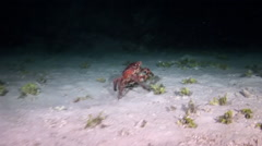 Red  Crab in search of food on the reef at night. Stock Footage