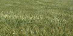 A field of green wheat swayed by turbulent winds, time lapse Stock Footage