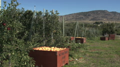 Apple orchard, south Okanagan, later summer, early variant, MS Stock Footage