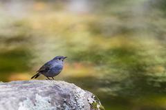 Beautiful bird - Plumbeous water redstart sitting on a rock - stock photo