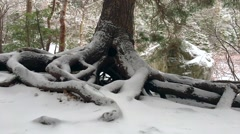 A slider shot of a tree's roots that are exposed with snow on them. - stock footage
