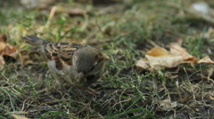 Stock Video Footage of Close-up shot of cute sparrow jumping in city park. Birdwatching activity, hobby