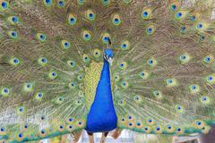 Beautiful peacock walking around - stock photo
