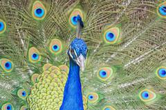 Beautiful peacock walking around Stock Photos