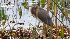 Tricolored heron (Tricolored heron) - stock footage