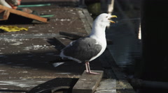 Close-up of a gull on a dock Stock Footage