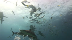 Sharks in search of food on the reef. - stock footage