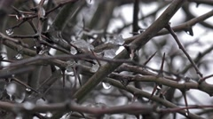 winter hedgerow thorns water and ice -natural background - stock footage