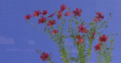 bush decorative flax with burgundy inflorescences swinging on a blue background - stock footage