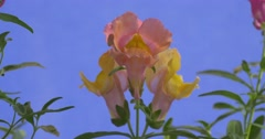 Stock Video Footage of pink with yellow bud antirrhinum sway in the wind visible green leaves
