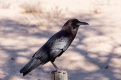Cape Crow in Kgalagadi, South Africa Stock Photos