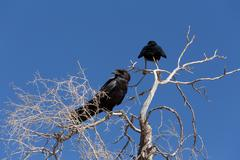 Cape Crow in Kgalagadi, South Africa - stock photo
