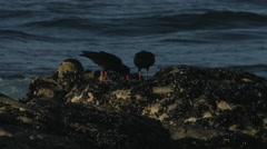 Oyster catcher birds pulling mussels off the rocks. - stock footage
