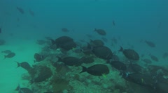 Yellowtail surgeonfish in Cabo Pulmo. Stock Footage