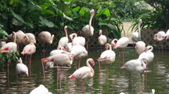 4K Pink Flamingos in the Lake Stock Footage