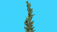 Hollywood Juniper Curved Tree Coniferous Evergreen Shrub is Swaying at the Wind Stock Footage