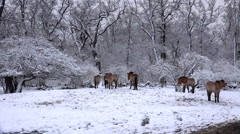 4k Przewalski-Horses in snowy winter landscape forest meadow Stock Footage