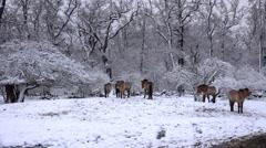 4k Przewalski-Horses in snowy winter landscape forest meadow - stock footage