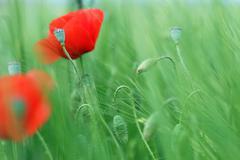 poppies flower green field spring season - stock photo