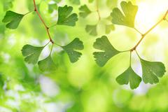 Ginkgo biloba leaves with dew drops Stock Photos