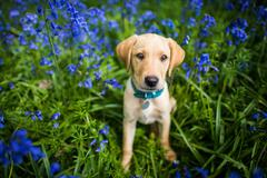 Labrador in bluebells, Oxfordshire, England, United Kingdom, Europe Stock Photos