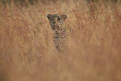 Leopard (Panthera pardus) in tall grass, Kruger National Park, South Africa, Stock Photos
