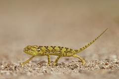 Flap-necked chameleon (flap neck chameleon) (Chamaeleo dilepis), Kruger National - stock photo