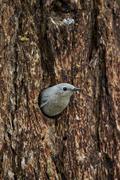 Mountain bluebird (Sialia currucoides), female exiting nest cavity, Yellowstone - stock photo