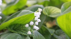 White lily of the valley blooming in the wind Stock Footage