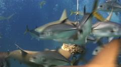 Scuba shark feeding show. The divers, sharks. - stock footage