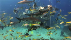 Scuba shark feeding show. The divers, sharks. Stock Footage