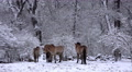 4k Przewalski-Horses in snowy winter landscape forest meadow 4k or 4k+ Resolution