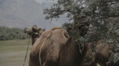 Camels eating tree - stock footage