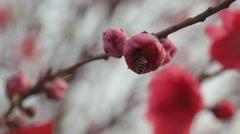 Bee into beautiful pink Sakura flower in Japan Stock Footage