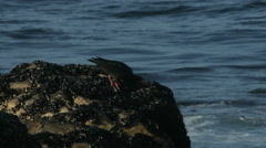 Oyster catcher bird eating a mussel. - stock footage