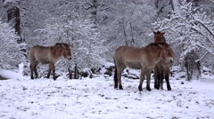 4k Przewalski-Horses closeup snowy winter forest meadow - stock footage