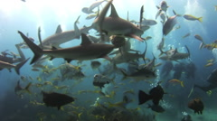 Grey reef sharks attack divers near the food. - stock footage