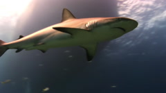 The shark swims in the blue sea in search of food. Stock Footage