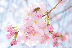 Bee on pastel pink flowers of spring blossoming apple tree Stock Photos