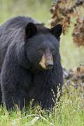 Black bear (Ursus americanus), Yellowstone National Park, Wyoming, United States - stock photo