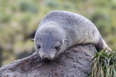 A young Antarctic fur seal (Arctocephalus gazella) on tussac grass in Cooper - stock photo