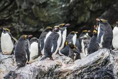 Macaroni penguin (Eudyptes chrysolophus) breeding colony in Cooper Bay, South Stock Photos