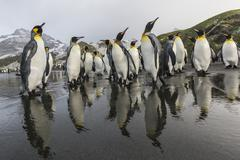 King penguins (Aptenodytes patagonicus) on the beach at Gold Harbour, South Stock Photos