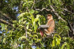 Adult male proboscis monkey (Nasalis larvatus), endemic to Borneo, Tanjung Stock Photos