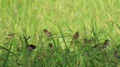 Birds eating rice crop - stock footage