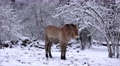 4k Przewalski-Horse closeup snowy winter forest meadow Footage