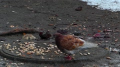 Pigeons eat crumbs in the winter. One dove brown,  another gray. Stock Footage