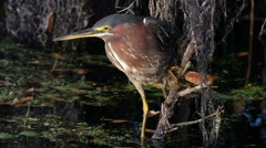 Green heron (Butorides virescens) Stock Footage