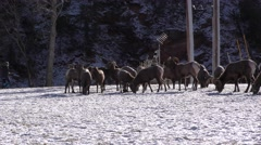 Bighorn Sheep Herd Wildlife in Town and People Jogging Recreation Stock Footage