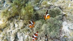 Sea anemone and clown fish Stock Footage